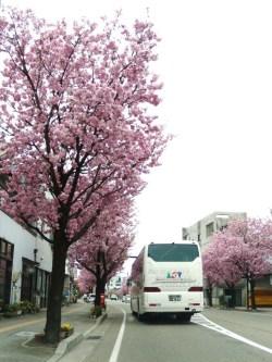 高岡桜馬場通り/桜並木