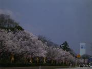 高岡古城公園満開の桜並木。