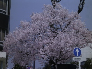 高岡駅前桜馬場通の満開の桜。